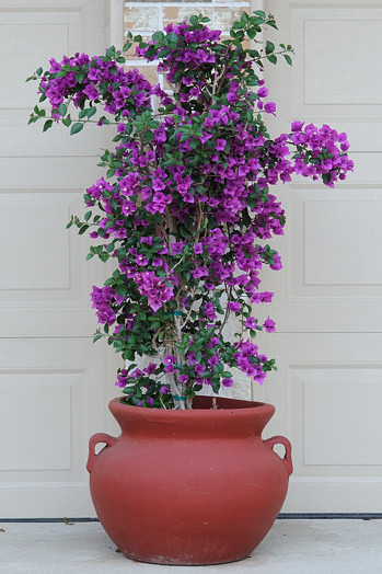 Bougainvillea in the Frontyard