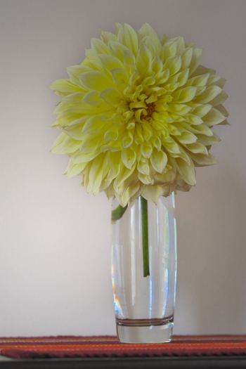 Yello Dahlia from my Garden, May- 2014