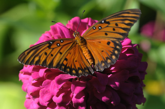 Monarch butterflies in my Garden, Aug- 2014