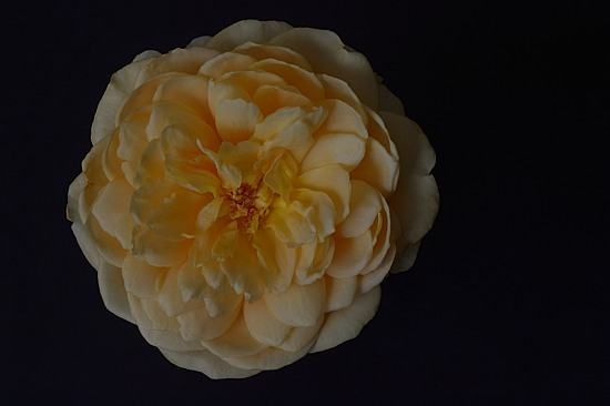 Molineux Rose from my Garden, May 2016