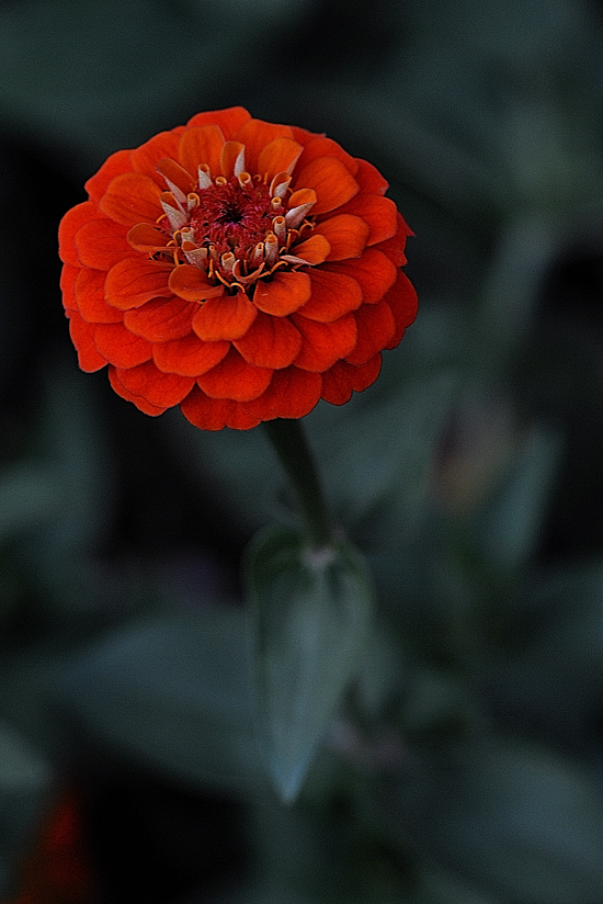 Button Zinnia ~ A bright and beautiful shade of red