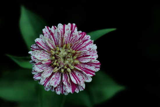 Zinnia ~ Multi colored and multi faceted: A beautiful sprinkle of color