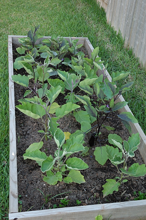 Purple Brinjal Plants