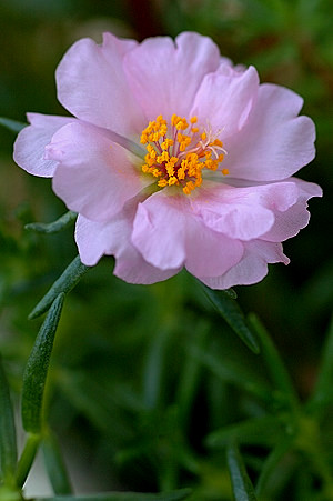 Table Rose (moss rose)